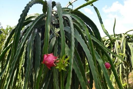 Hylocereus Undatus. Oder Drachenfrucht oder Pitahaya.