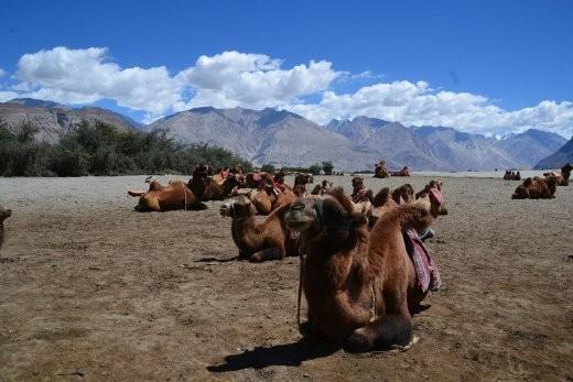 Da sind sie: die Baktrischen Kamele!