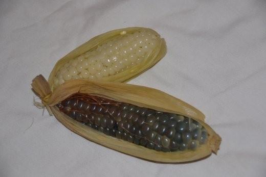 Dieser Maiskolben ist 5 cm groß, blau und schmeckt wie - Klebreis ;o)