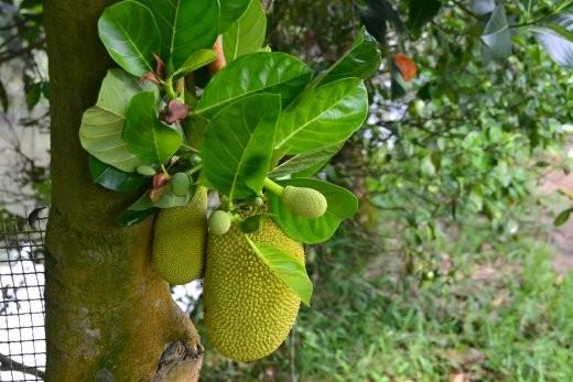 Artocarpus Heterophyllus. Jackfrucht. Schmeckt als Obst ganz gut. Als Gemüse hab ich es nie so sehr mögen.