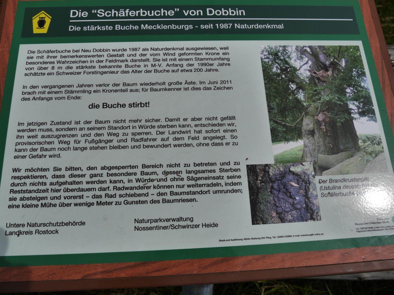 Schäferbuche in Dobbin