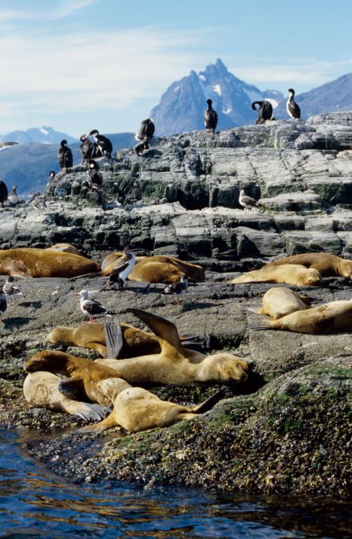 Seelöwenkolonie im Beaglekanal ( Feuerland )