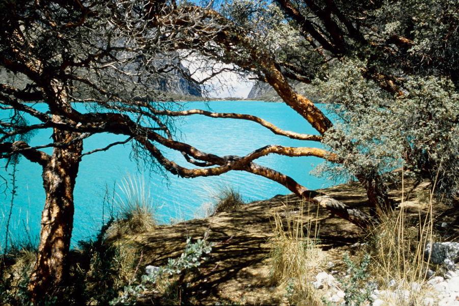 Quenualbaüme im Llanganucotal