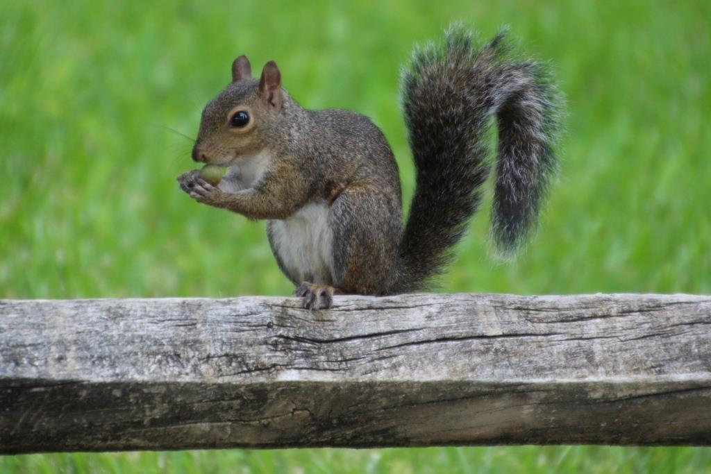 Grauhörnchen in St. Augustine