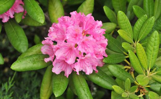 Кашкара (Rhododendron chrysanthum)