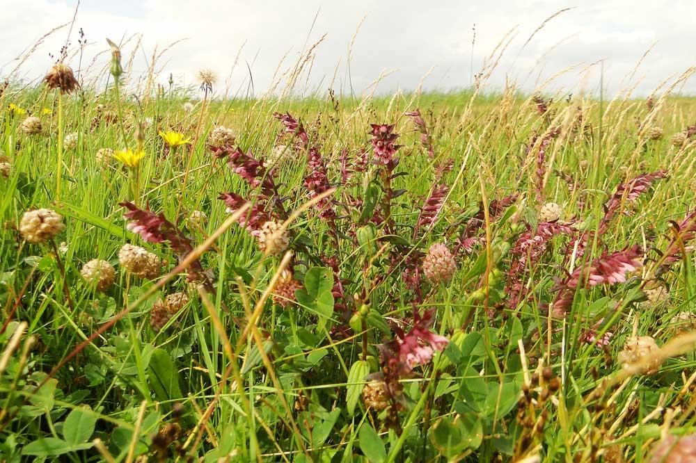 Der Zahntrost kann eine attraktive Nahrungspflanze für seltene Hummelarten sein. Foto: M. Steven