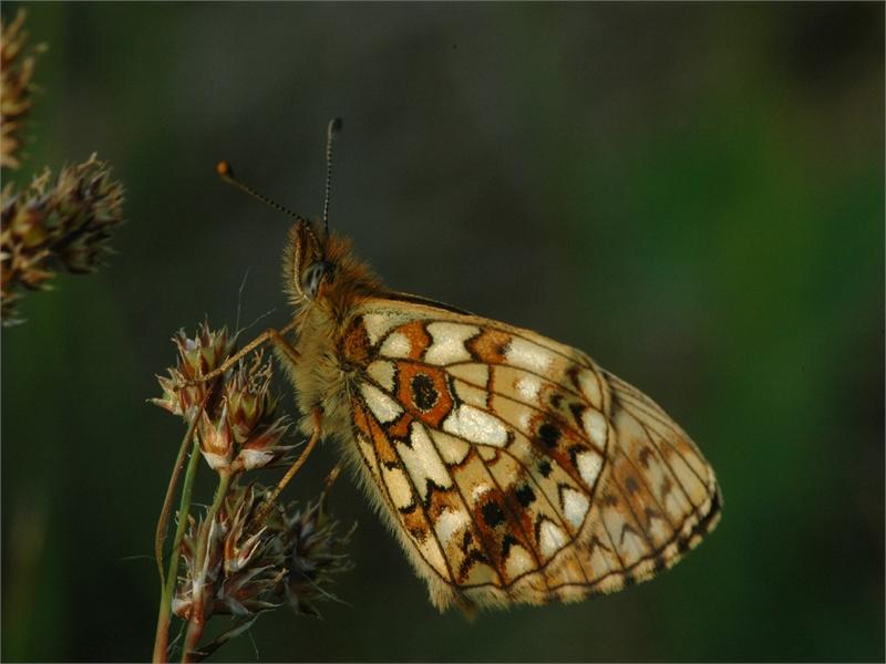 Der Braunfleckige Perlmutterfalter findet in den Wiesen seine Raupenfutterpflanze (Sumpfveilchen) und ein großes Nektarangebot für die adulten Falter. Foto: M. Steven