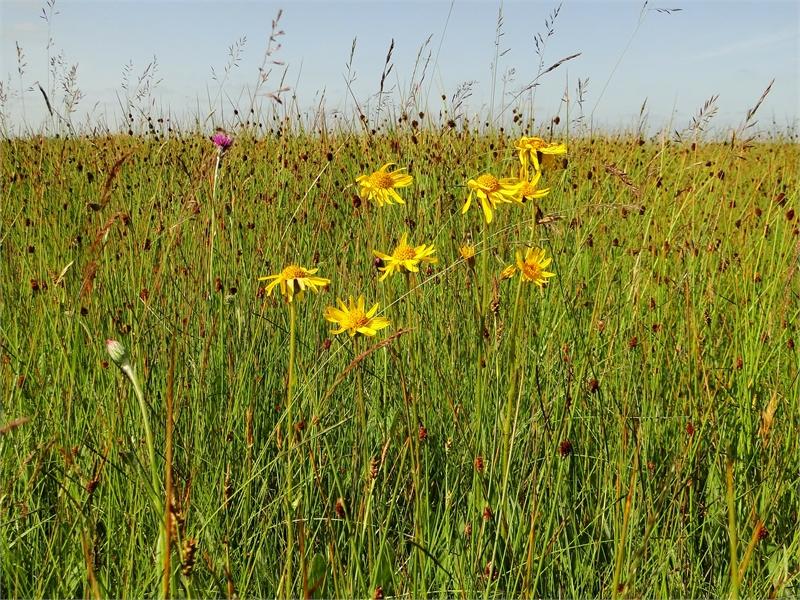 In einigen Wiesen dieses Typs wächst auch die Arnika. Foto: M. Steven