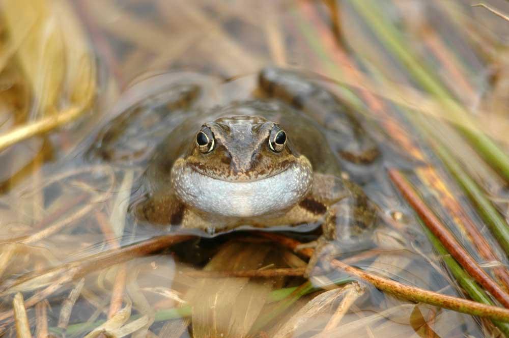 Zusammen mit Heuschrecken, Mäusen und Regenwürmern stellen Amphibien eine wichtige Nahrungsquelle. Foto: M. Steven