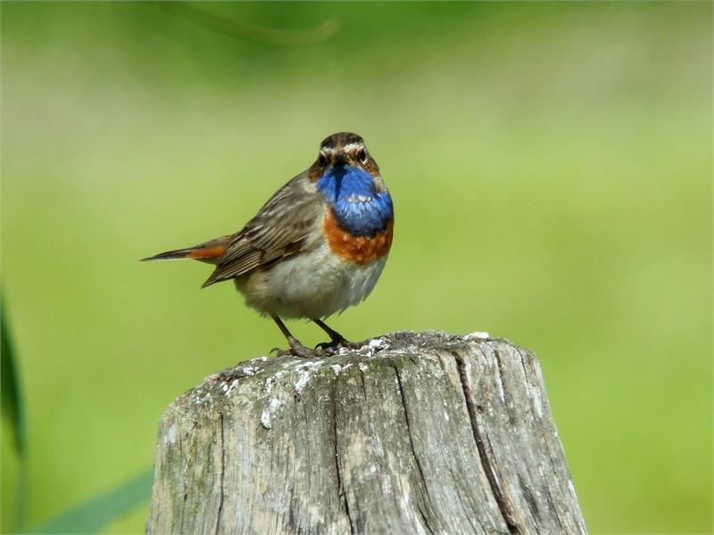Blaukehlchen sind im Vogelschutzgebiet an Schilf bestandenen Gräben häufig anzutreffen, © NABU-Fotolub, Olaf Rambow