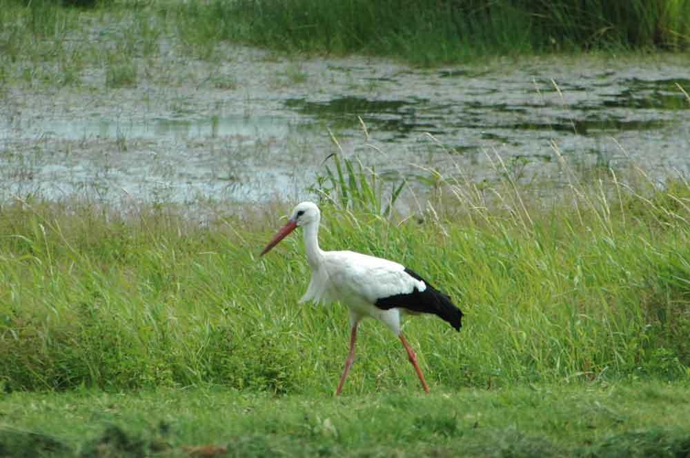 """Der Weißstorch zählt zu den Vogelarten, die durch die Ausweisung des Vogelschutzgebiets """"Ostfriesische Meere"""" geschützt werden sollen. Foto: M. Steven"""