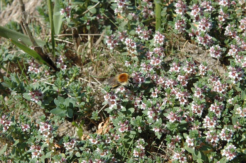 Auch Pflanzen der Salzwiesen können für Mooshummeln attraktive Nahrungsquellen darstellen.