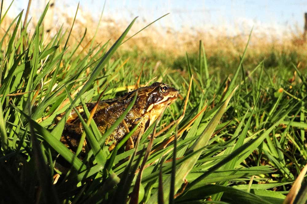 Wenn wieder mehr geeignete Laichgewässer vorhanden wären, würde der Grasfrosch sicher wieder zuversichtlicher in die Welt schauen. Foto: M. Steven
