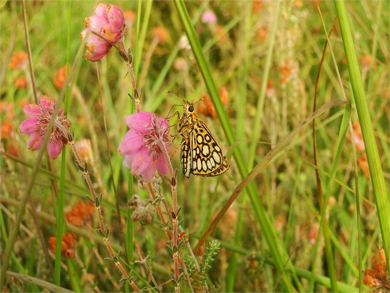 Im Naturschutzgebiet kommen auch diverse selten gewordene Schmetterlingsarten vor. © Michael Steven