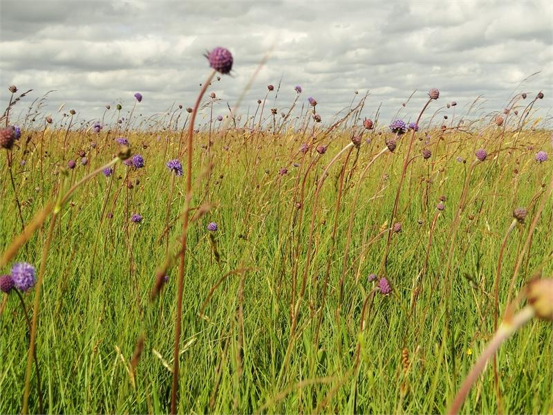 Pfeifengraswiesen bieten in den Frühjahrs- und Sommermonaten eine bemerkenswerte Blütenpracht,, © Michael Steven