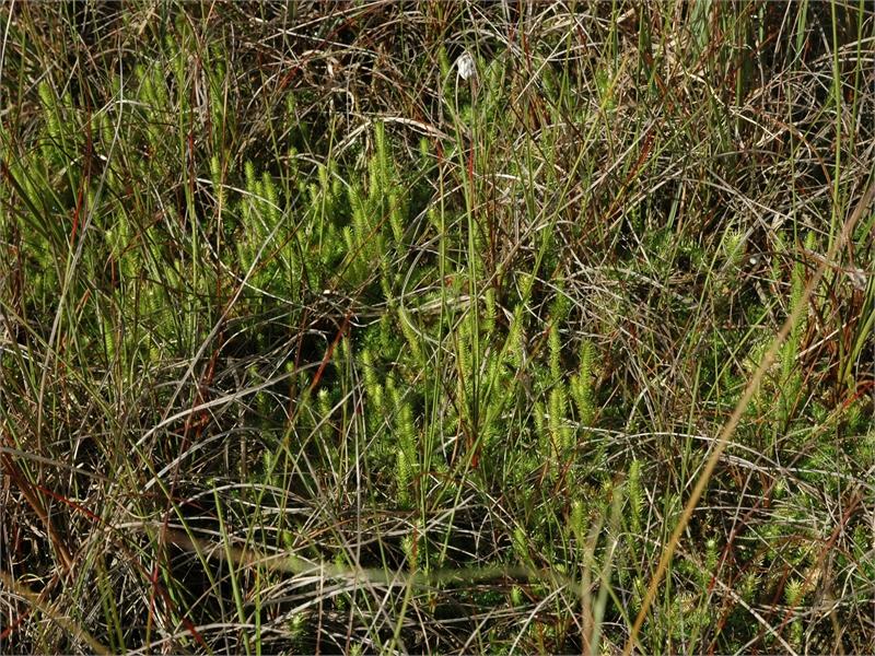 Sumpfbärlapp wächst in den Schwingrasen, hier und da aber auch auf alten Trampelpfaden. © Michael Steven