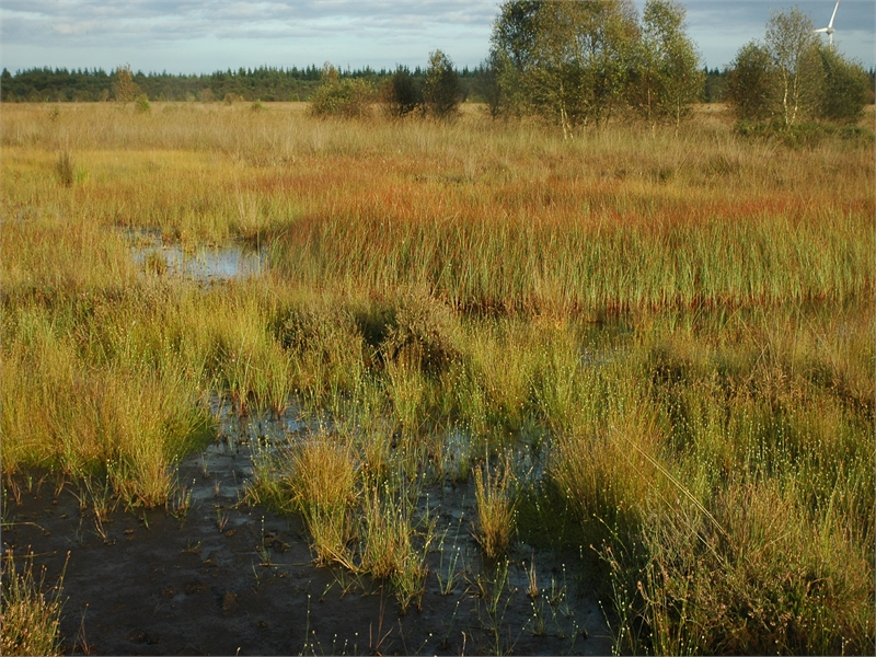 Im wiedervernässten Moor haben sich große Bestände des Weißen Schnabelriedes entwickelt. © Michael Steven