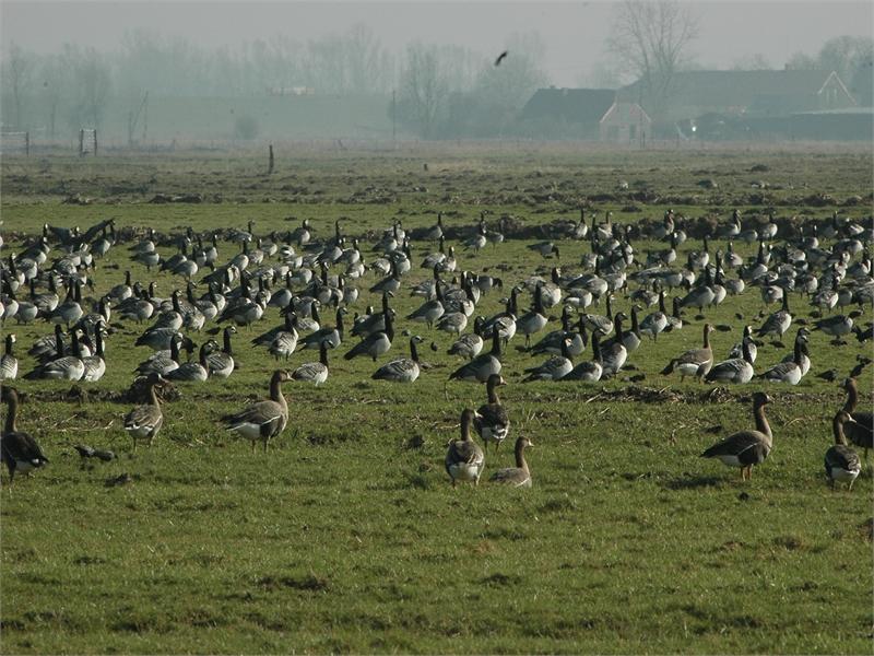 Für die überwinternden Wildgänse wurde das Vogelschutzgebiet unter anderem ausgewiesen ,  © M. Steven