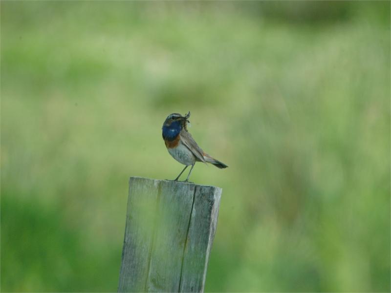 Ein häufiger Brutvogel im Vogelschutzgebiet: Das Blaukehlchen, © Michael Steven