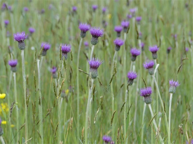 Die Englische Distel ist vor allem im Nordwesten Deutschlands kennzeichnend für die Artenreichen Pfeifengraswiesen. Foto: M. Steven