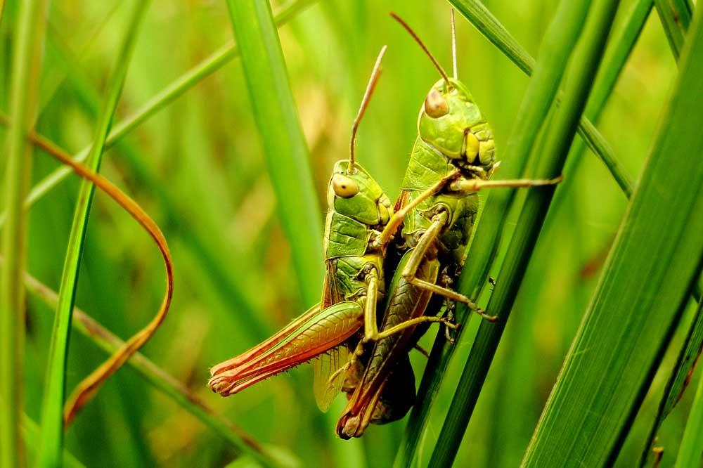 Werden Wiesen mehr als 2-3 Mal im Jahr gemäht, können sich Heuschrecken nicht mehr erfolgreich vermehren. Die Heuschrecken fehlen den Störchen dann auch auf dem Speiseplan. Foto: M. Steven