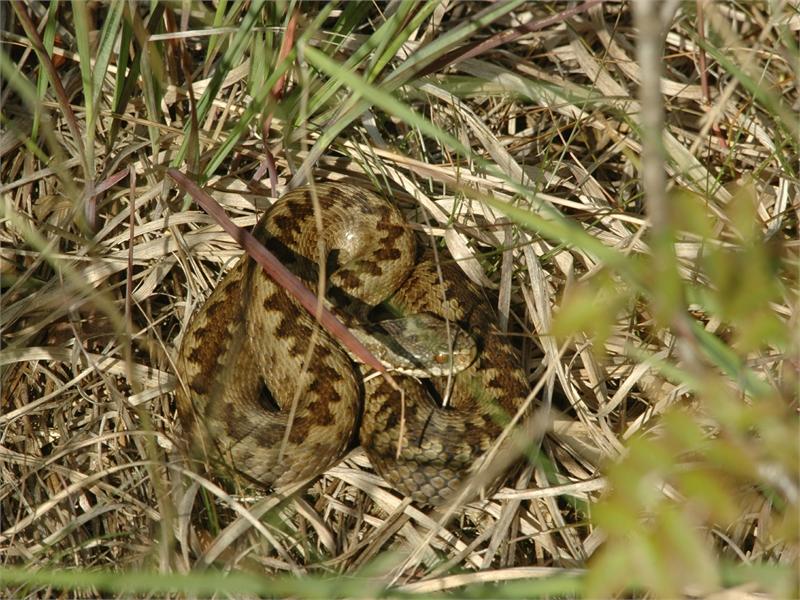 Die Kreuzotter-Weibchen haben in der Regel ein braunes Zickzack-Muster auf dem Rücken, die Männchen ein schwarzes. © M. Steven