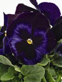 фото с сайта www.benary.com