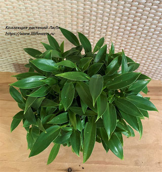 "Philodendron (Филодендрон) 'Wend-imbe"""