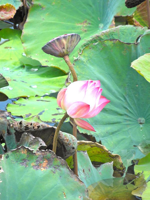 インレー湖の蓮