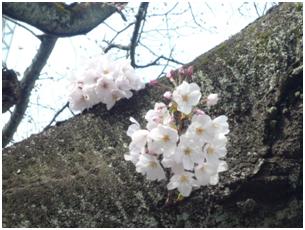 桜の花も咲き始め