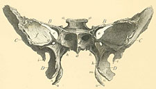 Os sphénoïde