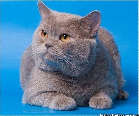 W CH Уникум (BRI c) - Сайт питомника британских кошек ilmenit!