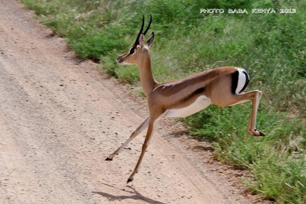 gazzella masai mara in2kenya