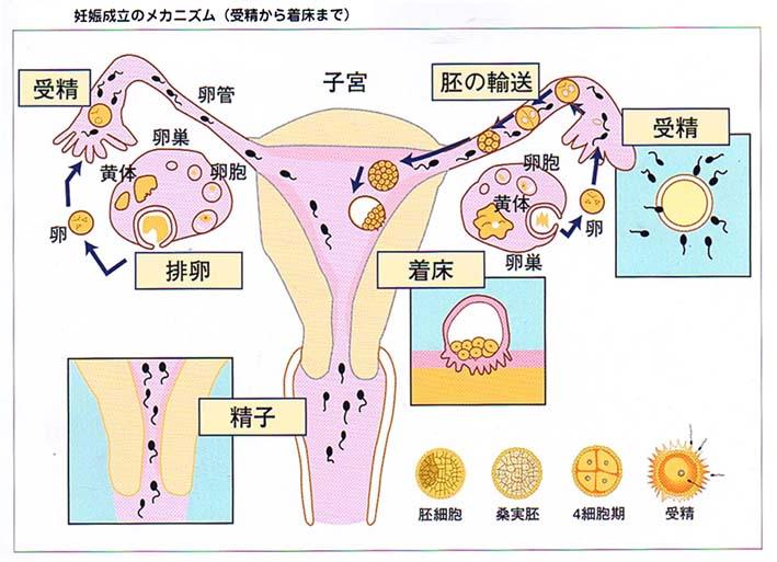 妊娠のメカニズム、受精から着床まで