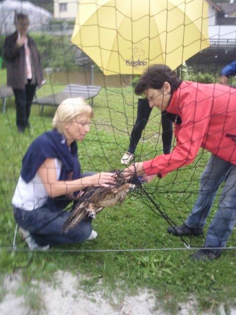 Der Uhu wird aus dem Netz berfeit (Foto: Inge Schartmüller, 19.6.)