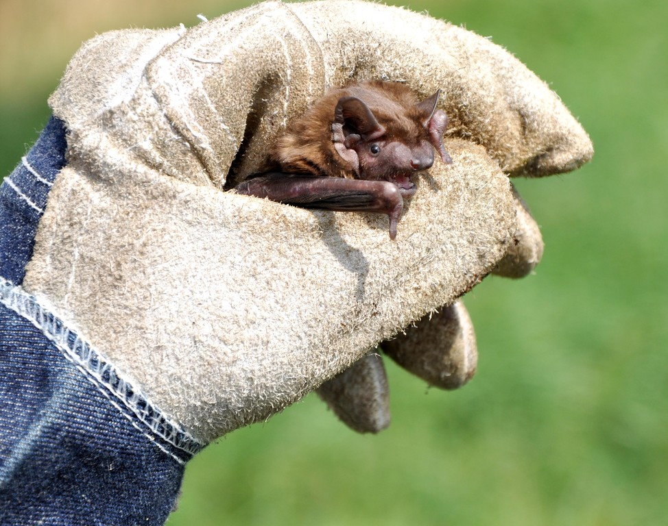Etwas dickere Handschuhe sind beim großen Abendsegler angebracht... Foto: Alois Kaltenböck