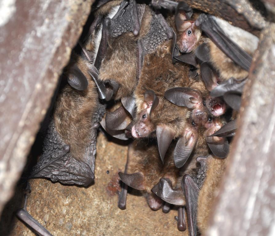 und wenn es dann eine Kolonie von Bechsteinfledermäusen ist, ist das sehr erfreulich. Als typische Baumhöhlenbewohner sind sie nämlich sehr schwierig in einem Gebiet nachzuweisen. Foto: Alois Kaltenböck