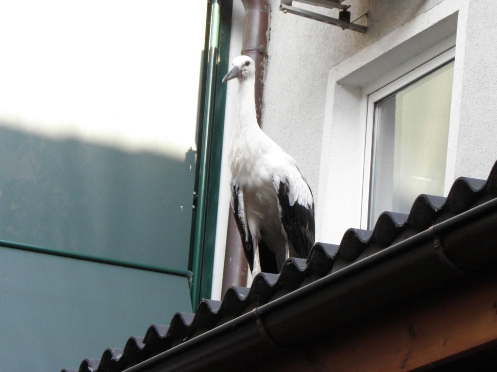 Junger Storch auf dem Dach im Gasthaus Böhm            Foto: Robert Gattringer