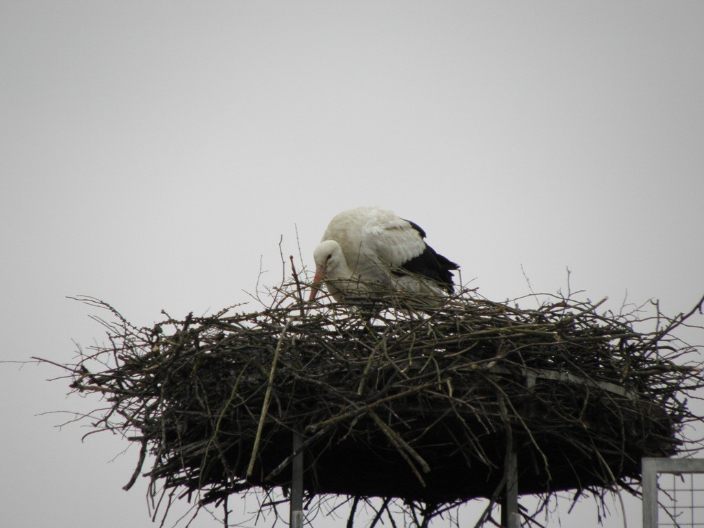 Greiner Storch beim Nest ausbessern                       Foto: Robert Gattringer