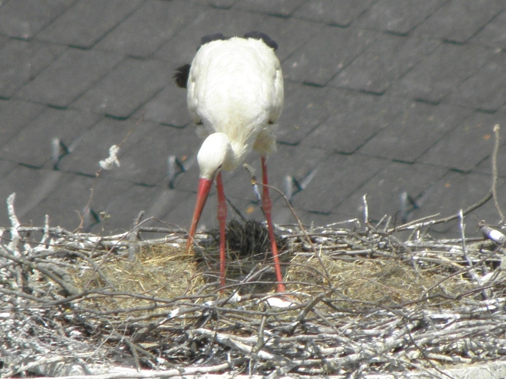 man kann zwei Eier erkennen                                         Foto: Robert Gattringer