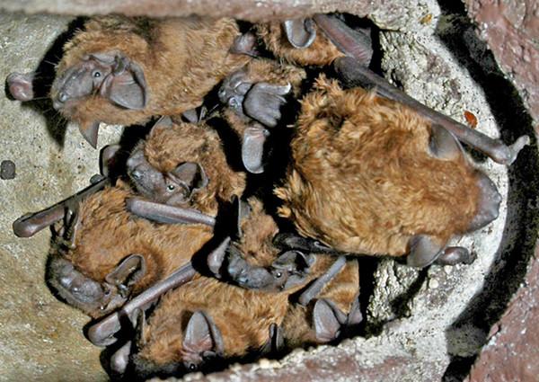 Große Abendsegler in einem Fledermauskasten in Saxen     Foto: Alois Kaltenböck