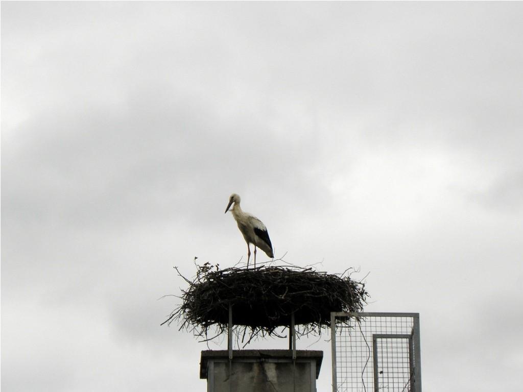 Juv. Storch allein auf Horst                                            Foto: Robert Gattringer