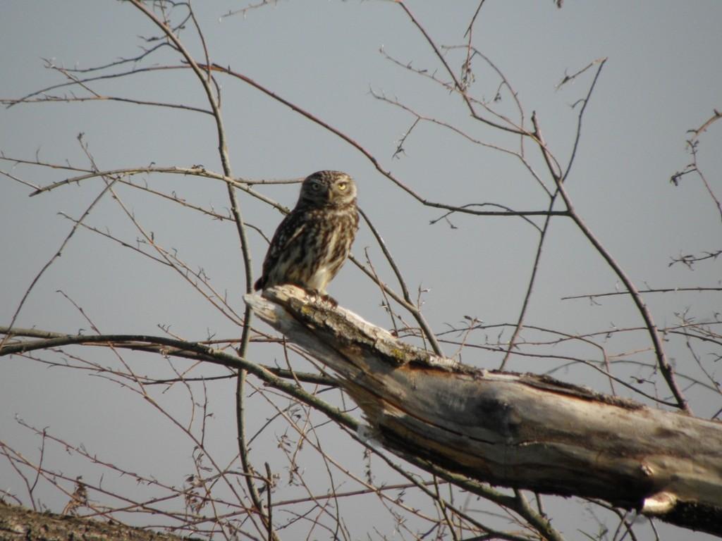 Altvogel auf Futtersuche                                          Foto: Robert Gattringer