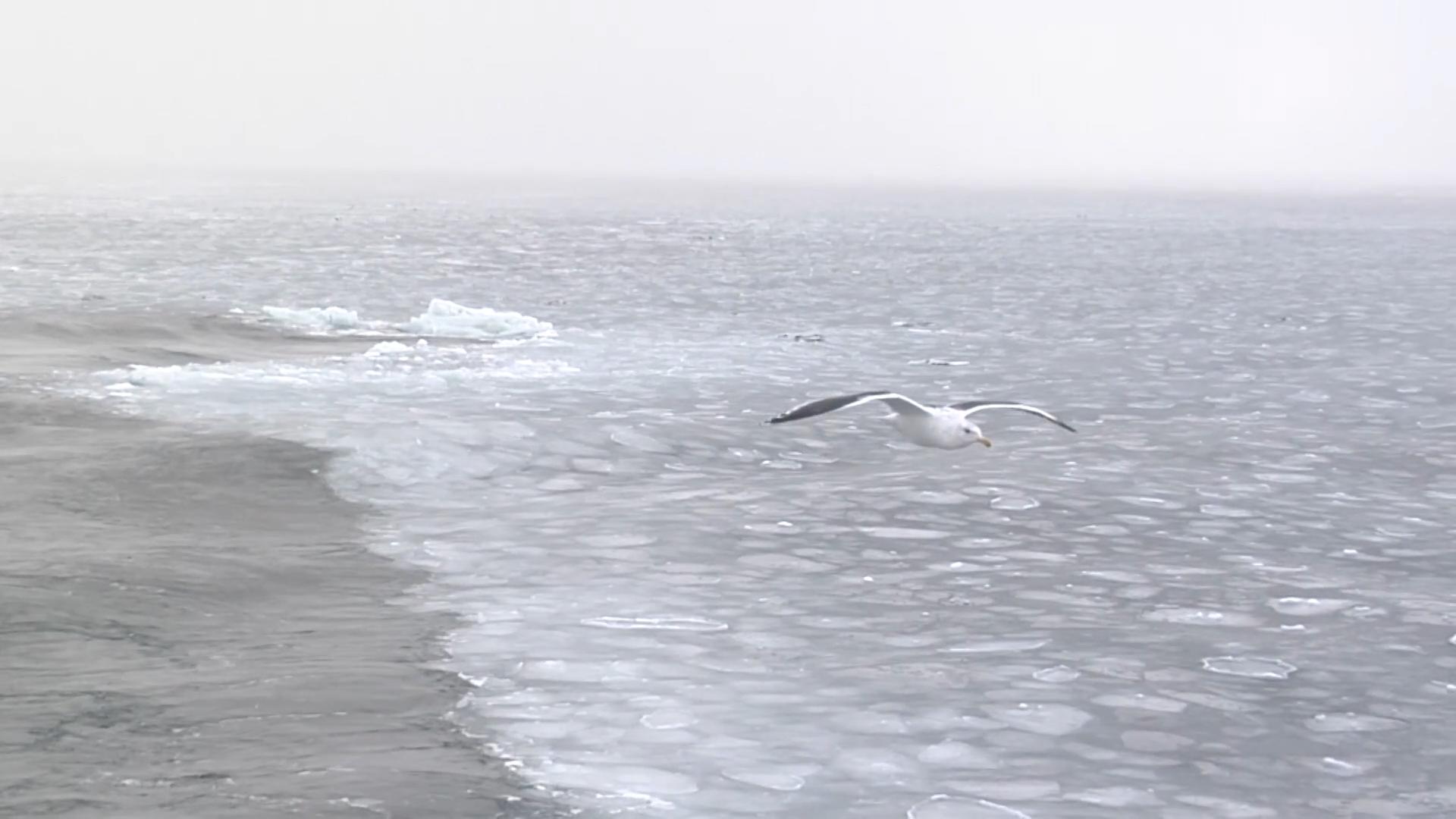 流氷の海を飛ぶカモメ