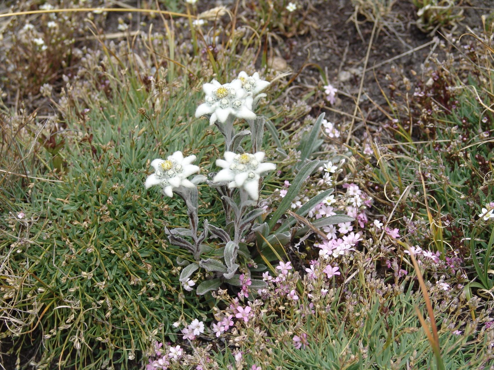 edelweiss auf 2800 im Piemont