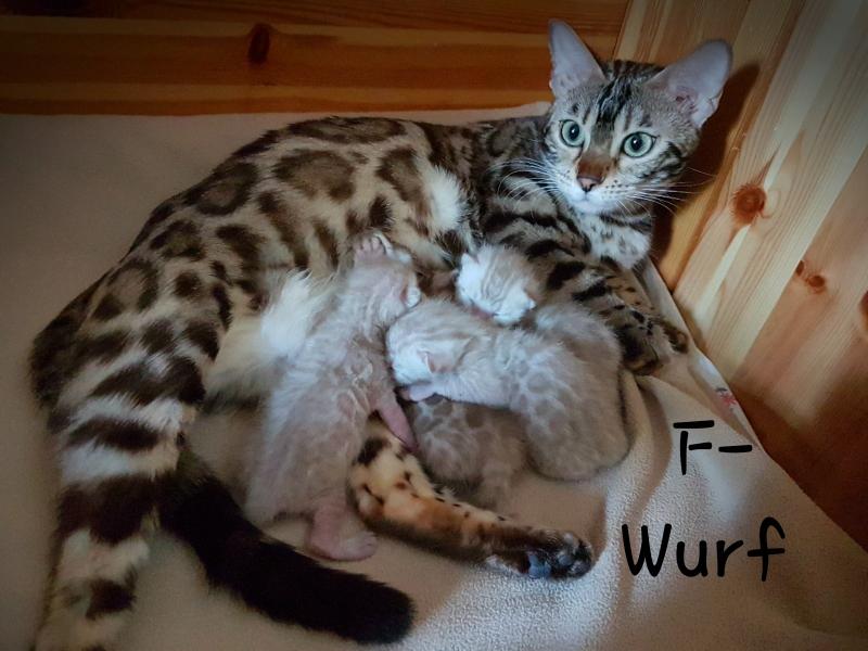 Zoey mit ihren ersten Kitten, Vater ist Levian of Embricabengal