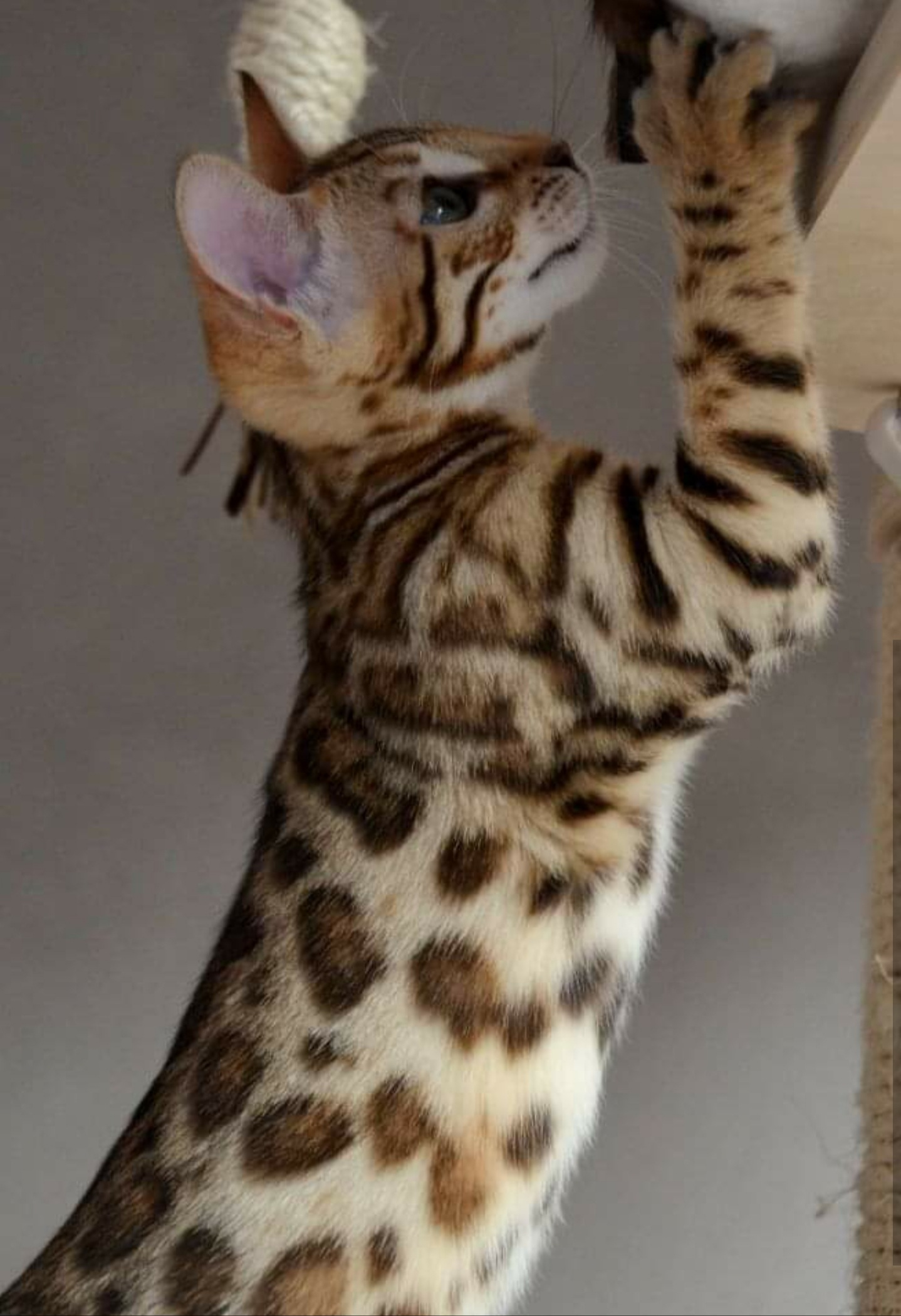 Dam: Leopardcats Marshmallow                                                                         Farbe: black spotted tabby