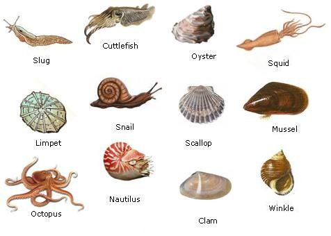 Pictures Of Mollusca 10