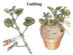 Plant asexual reproduction cutting