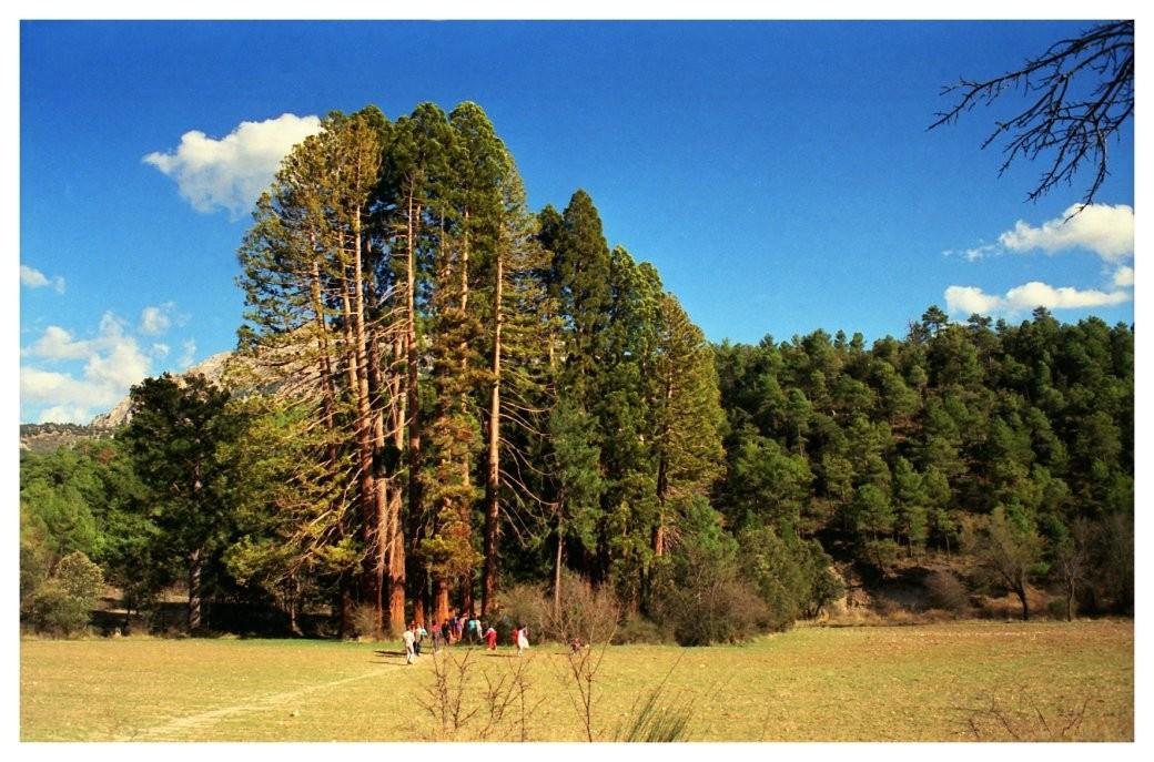 Secuoillas gigantes de La Losa, en el municipio de Huéscar